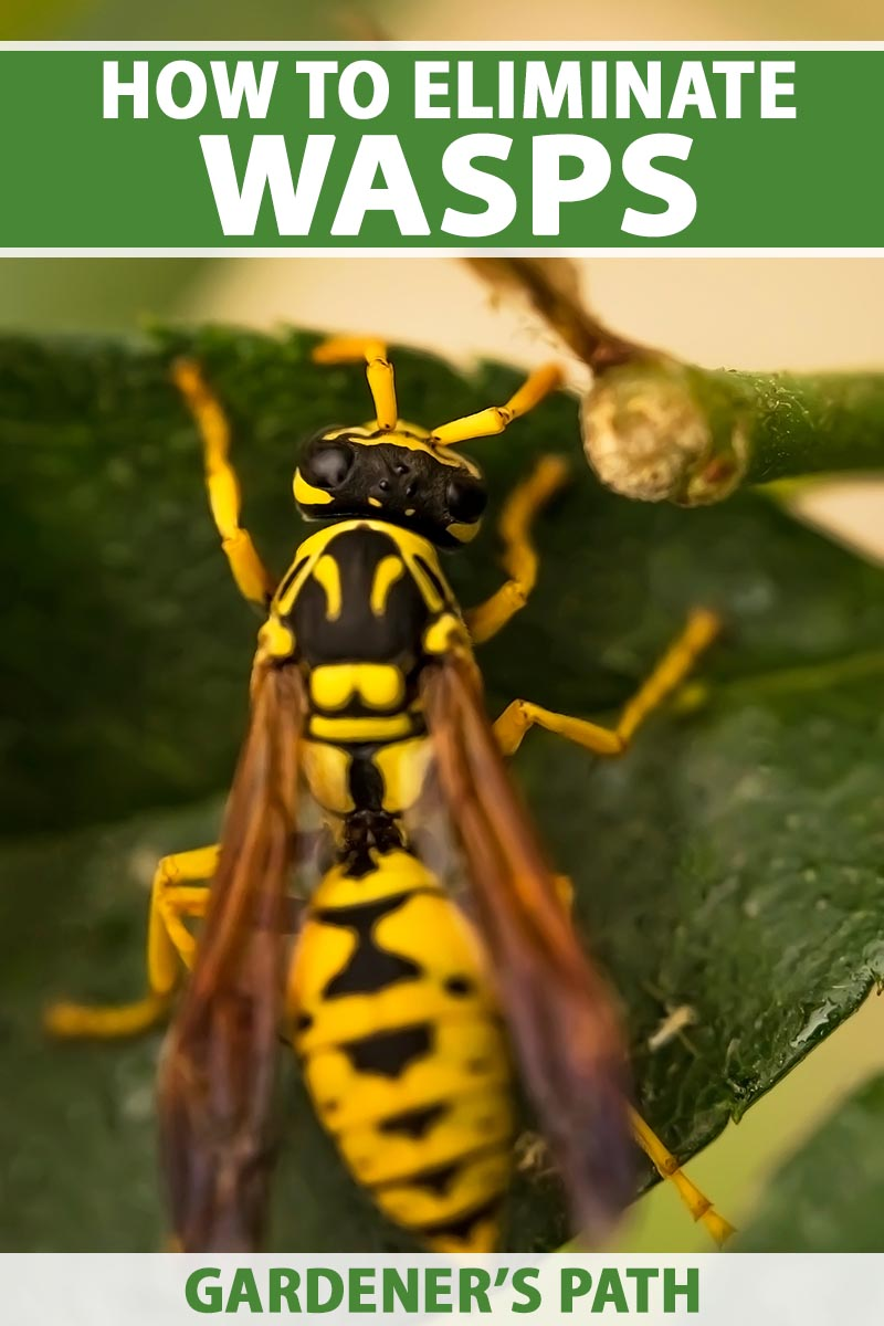 A close up vertical image of a wasp on a green leaf pictured on a soft focus background. To the top and bottom of the frame is green and white printed text.