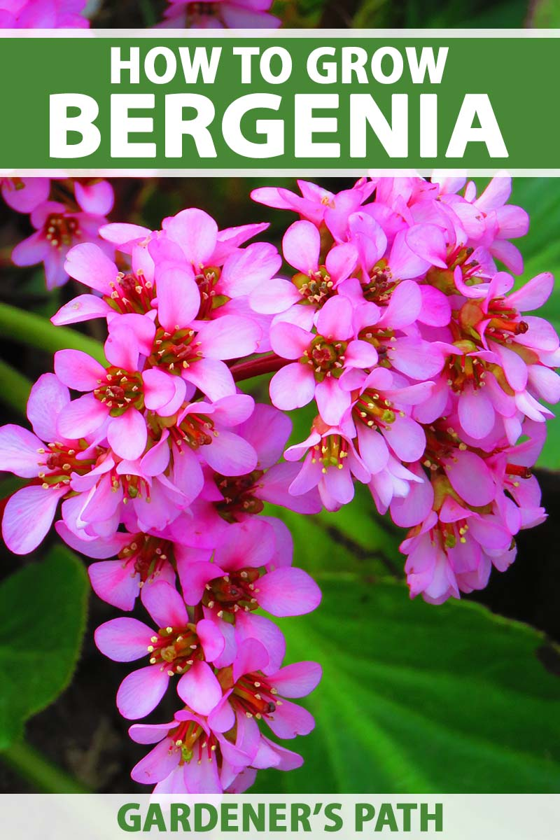 A close up vertical image of the bright pink flowers of heartleaf bergenia growing in the garden pictured on a soft focus background. To the top and bottom of the frame is green and white printed text.