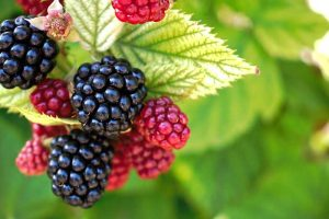Tips for Growing Blackberries in Containers