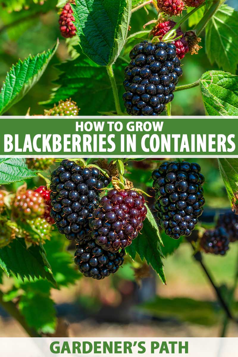 A close up vertical image of ripe and unripe blackberries growing in the garden pictured in bright sunshine. To the center and bottom of the frame is green and white printed text.