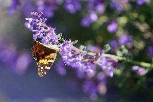 How to Grow Catmint in the Garden