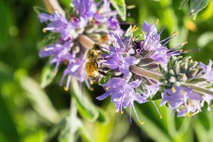 How to Grow and Care for Cleveland Sage