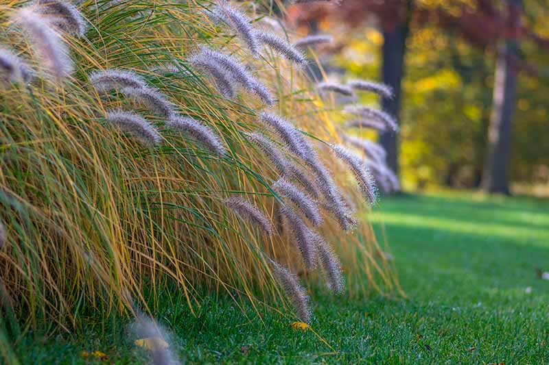 How to Grow and Care for Fountain Grass