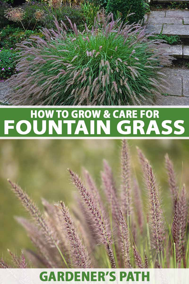 A vertical collage of two images of ornamental Pennisetum grass, the top a small specimen growing on the patio and the bottom a close up of the wispy foliage. To the center and bottom of the frame is green and white printed text.