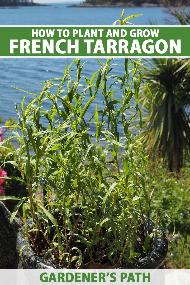 A close up vertical image of French tarragon growing in a ceramic pot with sea in the background. To the top and bottom of the frame is green and white printed text.