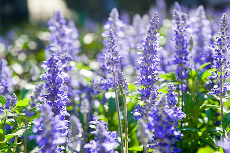 A close up horizontal image of purple hyssop flowers (Hyssopus officinalis) growing in a sunny garden.