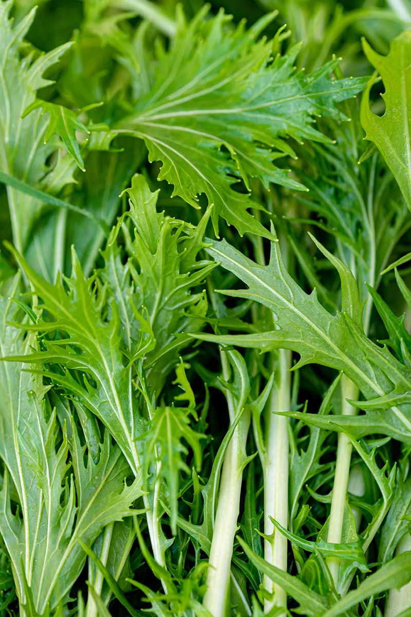 A close up vertical image of the green leaves of mizuna, freshly harvested.