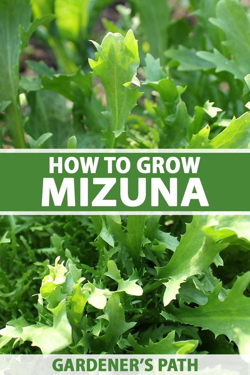 A close up vertical image of mizuna mustard greens growing in the garden. To the center and bottom of the frame is green and white printed text.