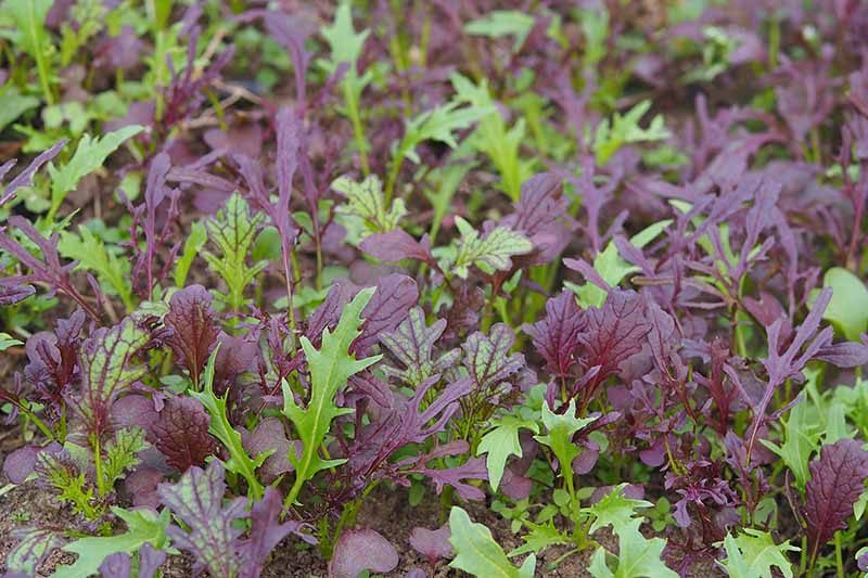 A close up horizontal image of red and green mizuna growing in the garden.
