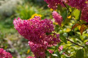 How to Grow and Care for Panicle Hydrangea