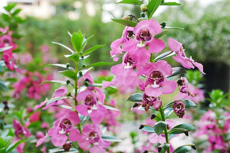 A close up horizontal image of pink summer snapdragon flowers (Angelonia angustifolia) growing in a garden border.