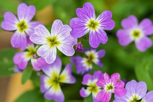 How to Grow Virginia Stock, A Cordial Summer Visitor