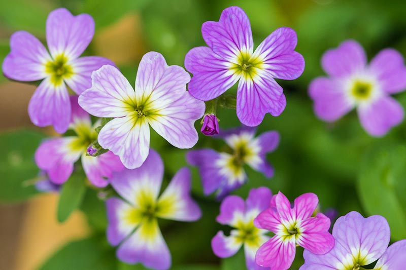 A close up horizontal image of the small pink and purple flowers of Malcolmia maritima growing in the garden pictured on a soft focus background.