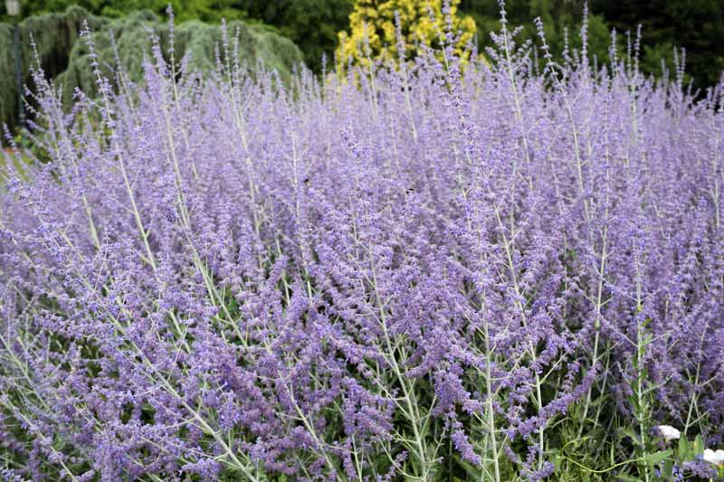 A close up horizontal image of the lavender colored flowers of Russian sage (Salvia yangii) growing in the garden.
