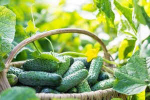 Bring in That Bumper Crop: How and When to Harvest Cucumbers