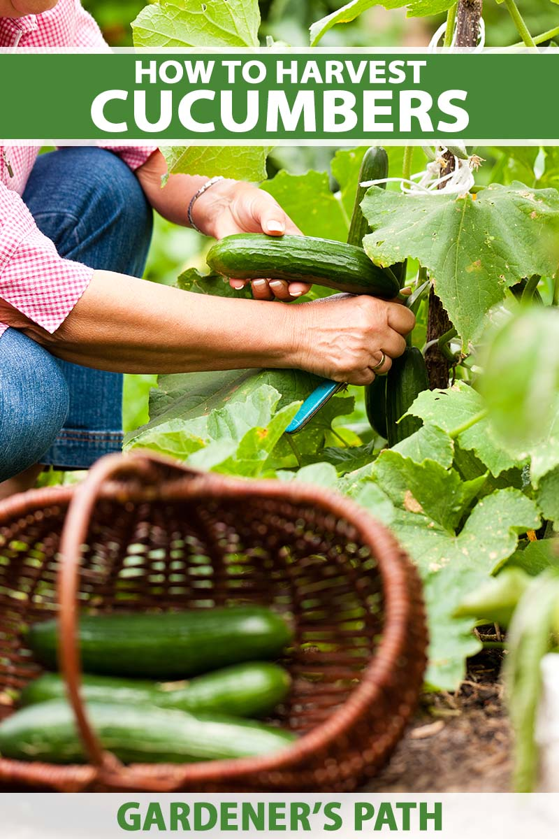 A close up vertical image of a gardener using a knife to harvest cucumbers from the garden with a basket in soft focus. To the top and bottom of the frame is green and white printed text.