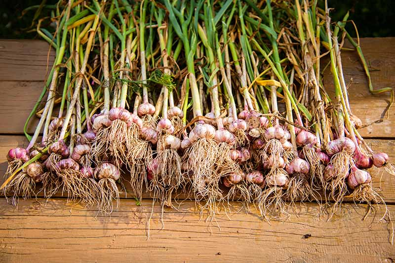 A close up horizontal image of garlic harvested from the garden set on a wooden surface in the sunshine.