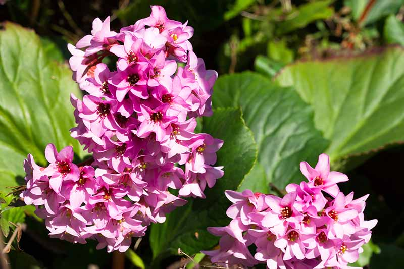 A close up horizontal image of the bright pink flowers of a bergenia plant growing in the garden pictured in bright sunshine.