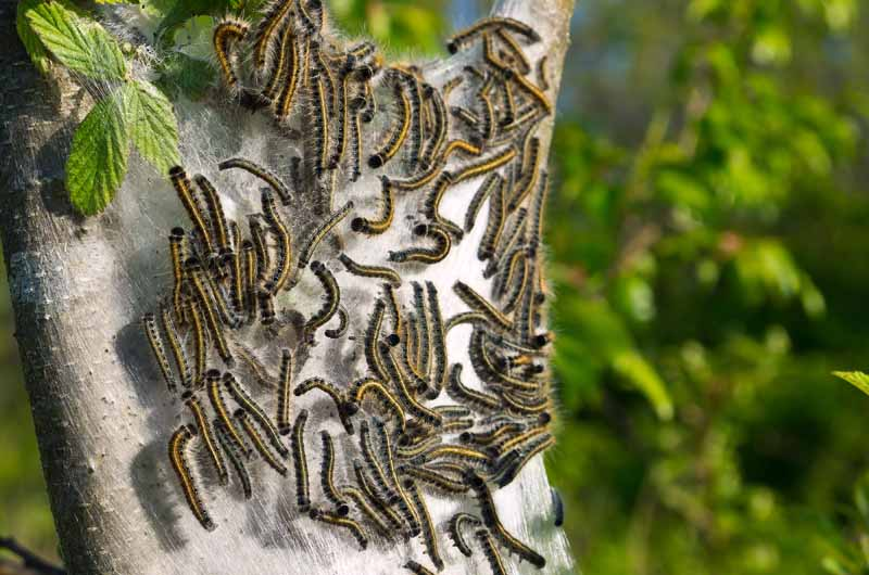 A close up horizontal image of tent caterpillars swarming on a tree pictured on a soft focus background.