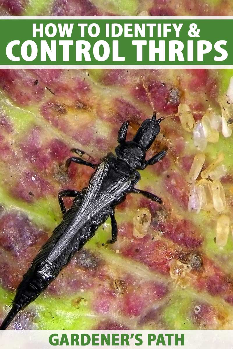 A close up vertical image of a black thrip insect feeding from the leaf of a plant. To the top and bottom of the frame is green and white printed text.