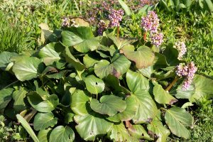 How to Recognize Common Disease Symptoms in Bergenia