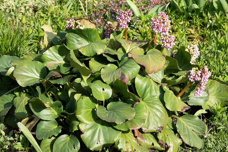 A close up horizontal image of a bergenia plant growing in the garden with some spots on the foliage.