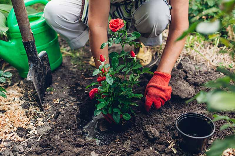 A close up horizontal image of a gardener wearing red gloves planting a potted rose bush out into the garden.