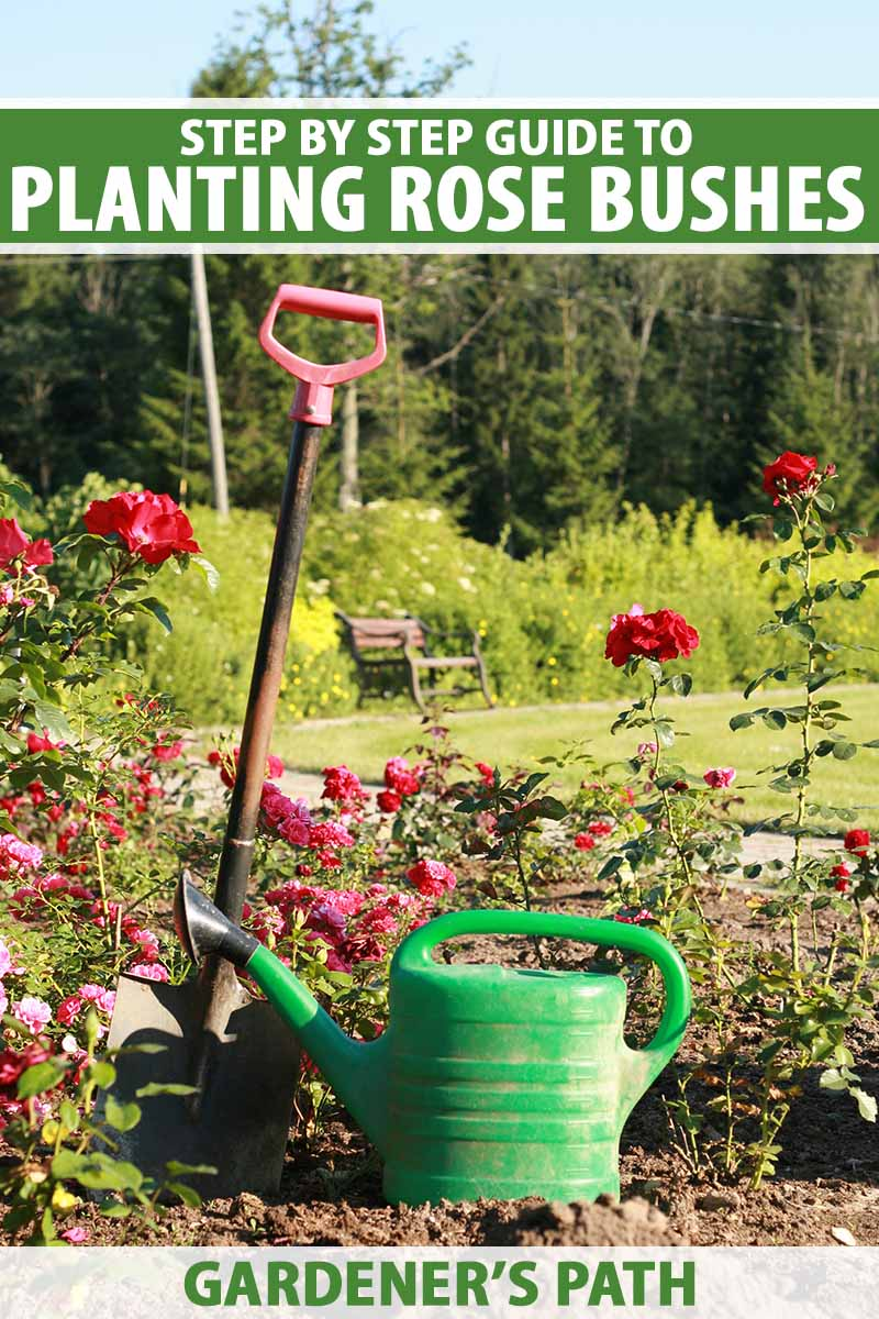 A close up vertical image of a spade and watering can in a rose garden with trees, shrubs, and lawn in soft focus in the background. To the top and bottom of the frame is green and white printed text.