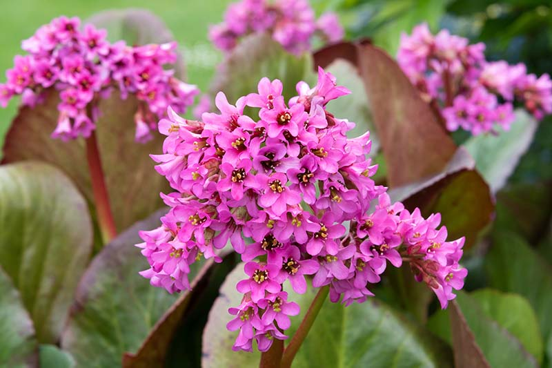 A close up horizontal image of bright pink bergenia flowers growing in the garden pictured on a soft focus background.