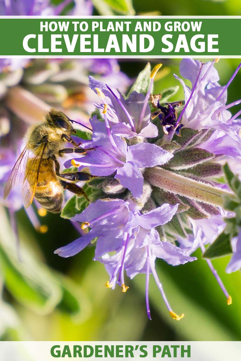 A close up vertical image of a bee feeding from a Cleveland sage flower pictured in bright sunshine. To the top and bottom of the frame is green and white printed text.