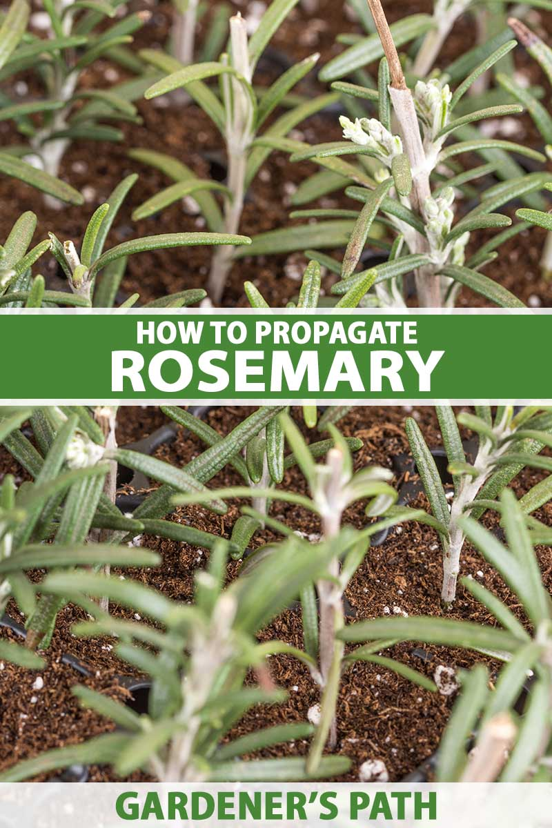 A close up vertical image of rosemary cuttings taking root in soil. To the center and bottom of the frame is green and white printed text.