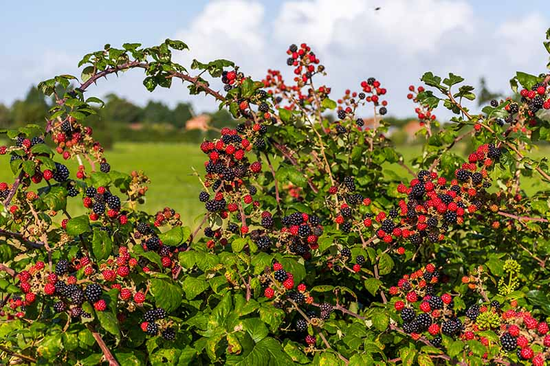 How and When to Prune Blackberry Bushes