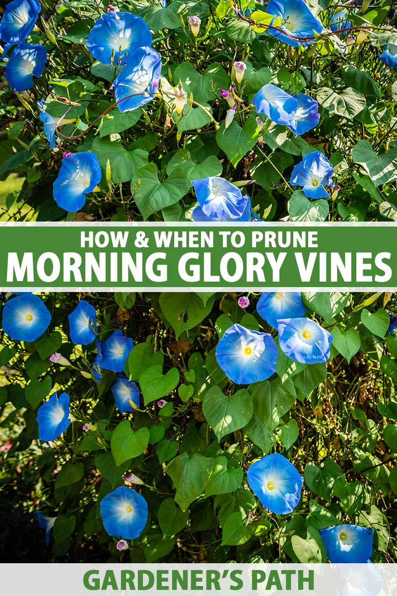 A close up vertical image of blue and white morning glory flowers growing on a large vine pictured in light filtered sunshine. To the center and bottom of the frame is green and white printed text.
