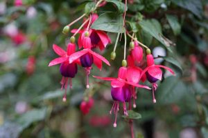Why Is My Fuchsia Wilting? 5 Common Issues