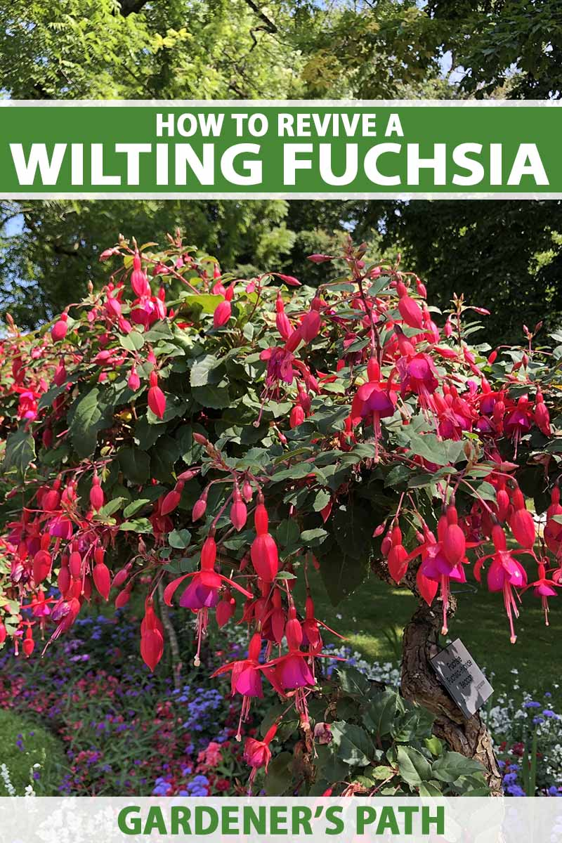 A close up vertical image of a large fuchsia plant growing in a sunny garden. To the top and bottom of the frame is green and white printed text.