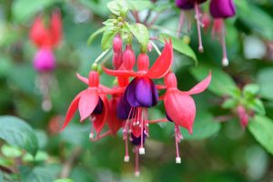 How to Harvest and Save Fuchsia Seeds