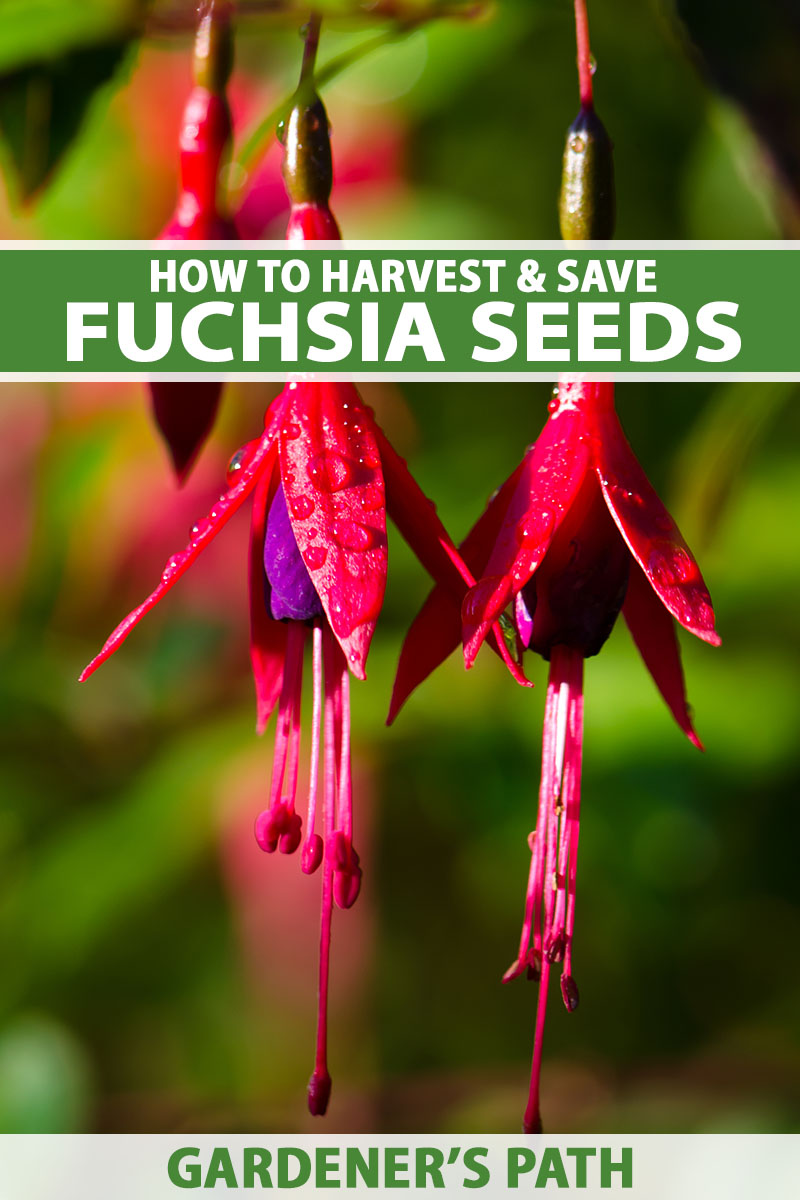 A close up vertical image of red and purple fuchsia flowers pictured in bright sunshine on a soft focus background. To the top and bottom of the frame is green and white printed text.