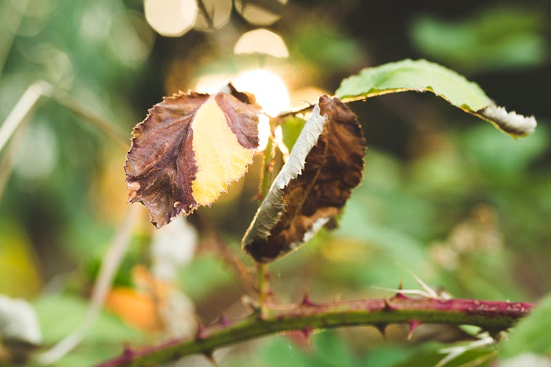 A close up horizontal image of yellow and brown foliage of a rose bush pictured in evening sunshine on a soft focus background.