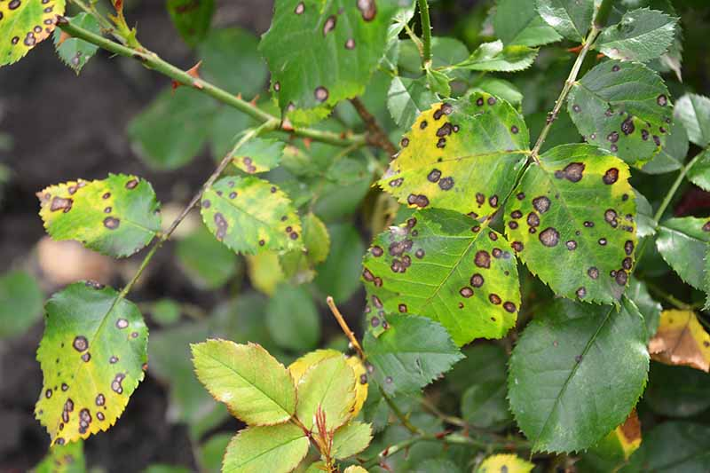 A close up horizontal image of rose foliage with dark black spots and yellow leaves as a result of a fungal infection.