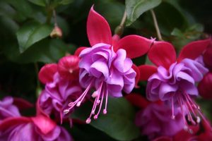 Tips for Watering Fuchsia Plants
