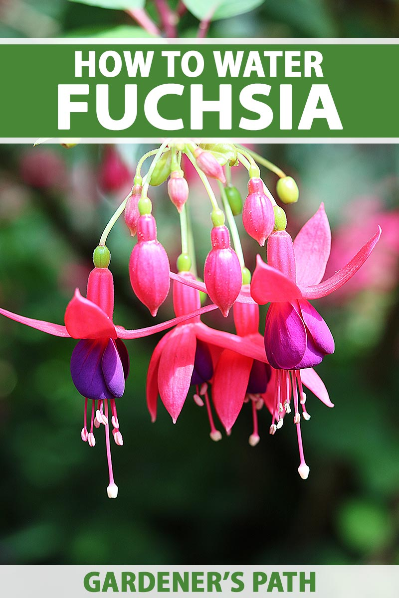 A close up vertical image of pink and purple fuchsia flowers growing in the garden pictured on a soft focus background. To the top and bottom of the frame is green and white printed text.