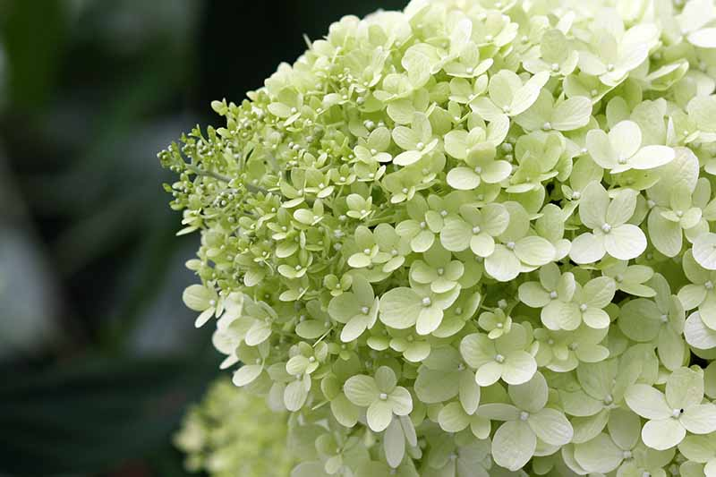 A close up horizontal image of a Hydrangea paniculata 'Limelight' flower pictured on a soft focus background.