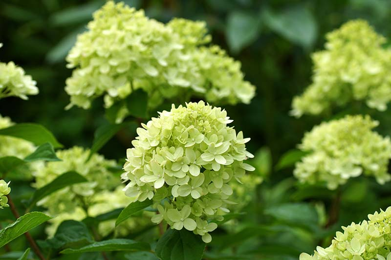 A close up horizontal image of panicle hydrangea flowers growing in the garden pictured on a soft focus background.