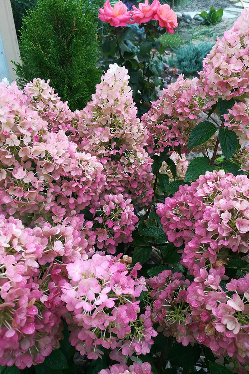 A close up vertical image of bright pink panicle hydrangea flowers growing in a mixed garden border.
