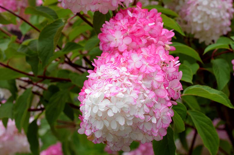 A close up horizontal image of bright pink and white Hydrangea paniculata 'Strawberry Sundae' growing in the landscape.