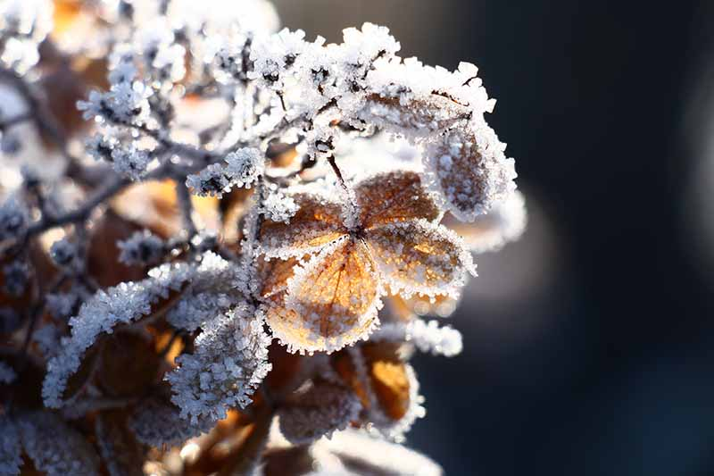 A close up horizontal image of a dried flower covered in a dusting of snow pictured in light filtered sunshine on a soft focus background.