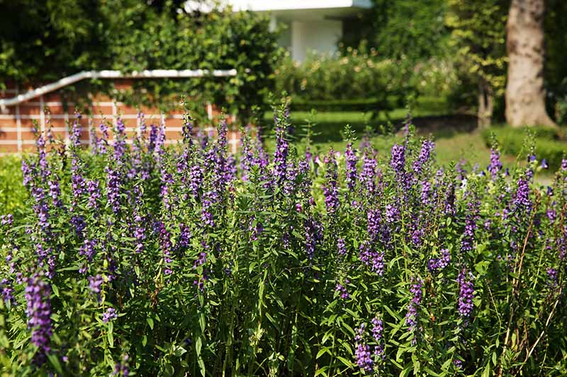 A horizontal image of a stand of hyssop flowers growing outside a residence.