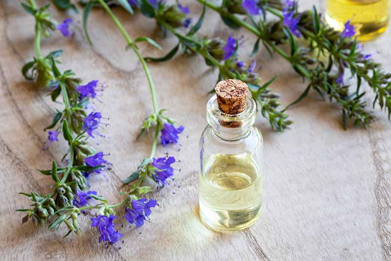 A close up horizontal image of a small bottle of essential oil set on a wooden surface surrounded with sprigs of hyssop.