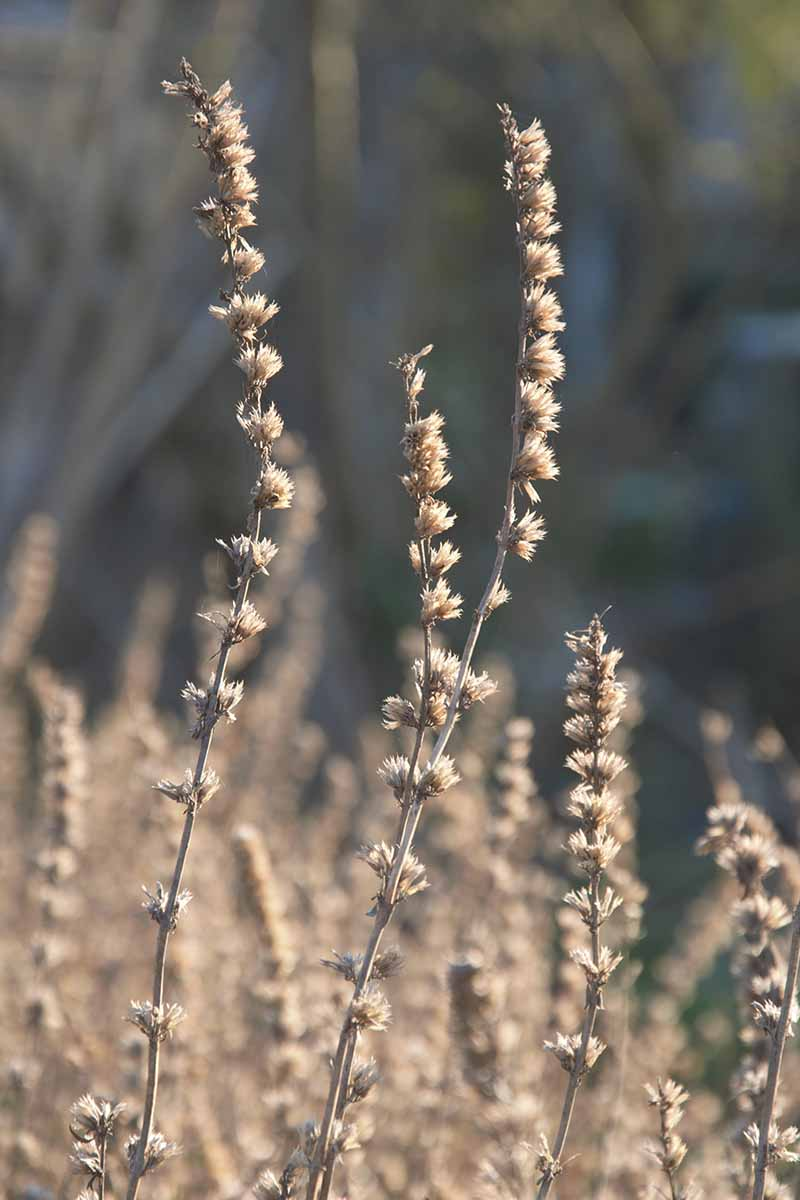 A close up vertical image of the dried flower heads of Hyssopus officinalis growing in the garden pictured on a soft focus background.