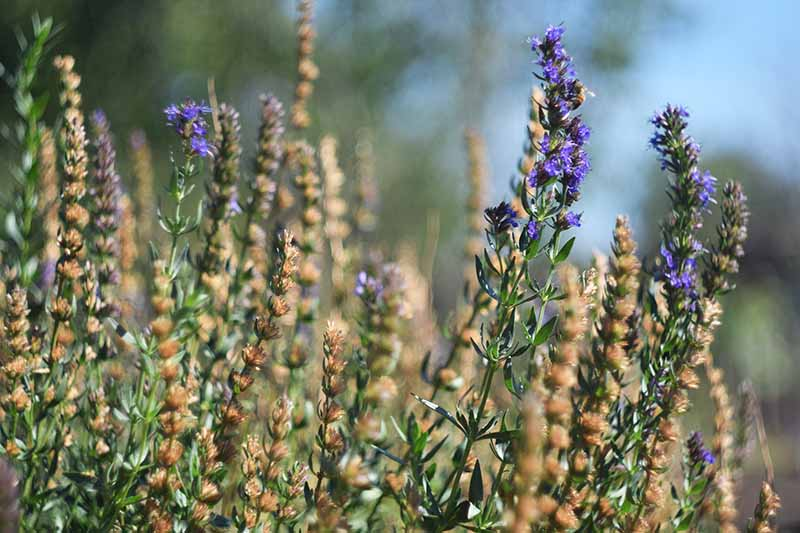 A close up horizontal image of hyssop growing in the garden pictured on a soft focus background.